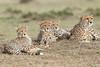 Cheetah_Family_Portraits_Mara_Kenya_Asilia_20150027