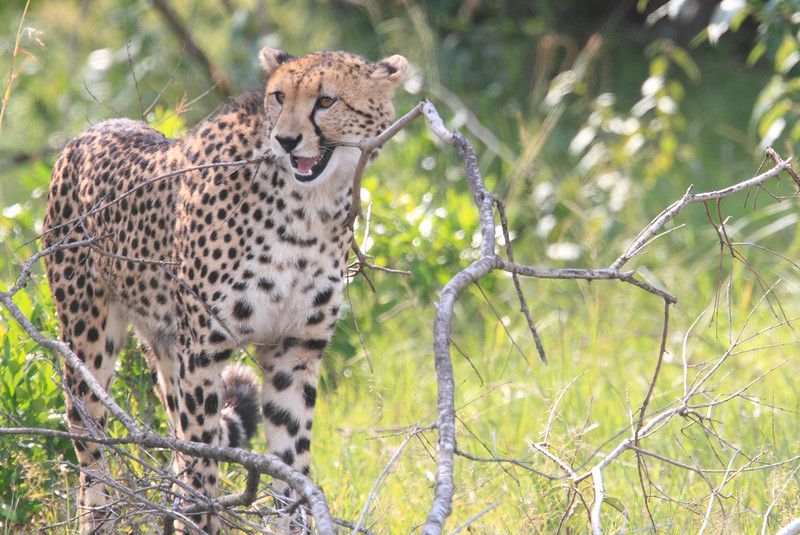 Cheetah_Mara_Asilia_Kenya0068