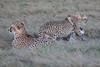 Cheetah_Family_Phinda_2016_0084