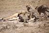 Cheetah_Feast_Mara_Kenya_Asilia_20150014