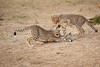 Cheetah_Cubs_Mara_Kenya_Asilia_20150162
