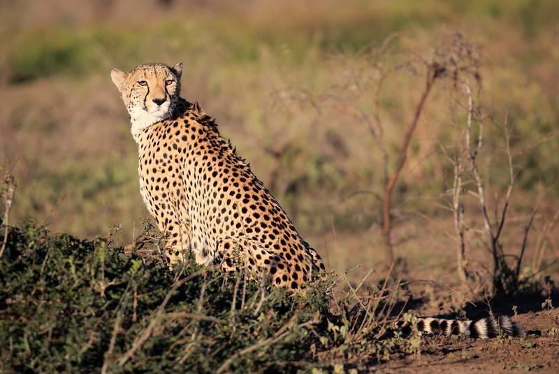 Cheetah_Family_Phinda_2016_0051