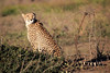 Cheetah_Family_Phinda_2016_0051