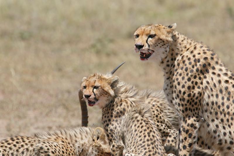 Cheetah_Feast_Mara_Kenya_Asilia_20150248