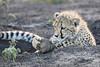 Young_Cheetah_Playing_With_Ball_Phinda_2016_0073