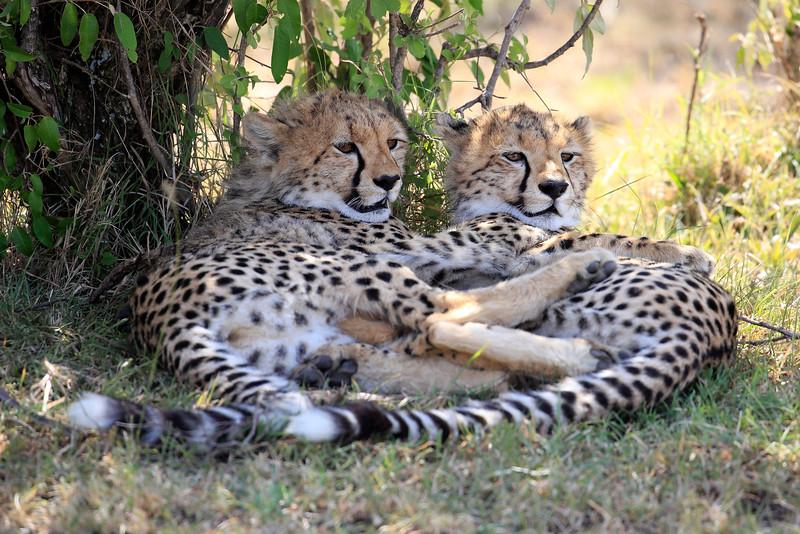 Cheetah_Cubs_Mara_Kenya_Asilia_20150099