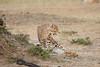 Cheetah_Cubs_Mara_Kenya_Asilia_20150148