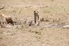 Cheetah_Feast_Mara_Kenya_Asilia_20150231
