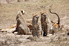Cheetah_Feast_Mara_Kenya_Asilia_20150025