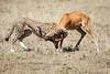 Cheetah_Feast_Mara_Kenya_Asilia_20150153
