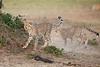 Cheetah_Cubs_Mara_Kenya_Asilia_20150128