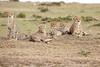 Cheetah_Family_Portraits_Mara_Kenya_Asilia_20150006