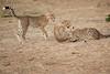 Cheetah_Cubs_Mara_Kenya_Asilia_20150156