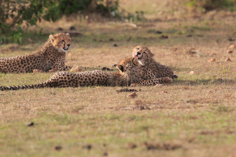 Cheetah_Cubs_Mara_Kenya_Asilia_20150284