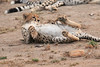 Cheetah_Cubs__Mara_Kenya_Asilia_20150019