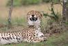 Cheetah_Mara_Asilia_Kenya0035