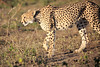 Cheetah_Family_Phinda_2016_0059