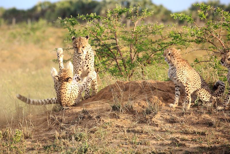 Cheetah_Adventure_Phinda_2016_0017