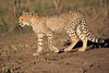 Cheetah_Family_Phinda_2016_0042