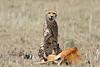 Cheetah_Feast_Mara_Kenya_Asilia_20150235