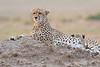 Cheetah_Cubs__Mara_Kenya_Asilia_20150009