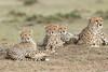 Cheetah_Family_Portraits_Mara_Kenya_Asilia_20150026