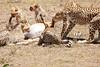 Cheetah_Feast_Mara_Kenya_Asilia_20150082