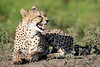 Cheetah_Family_Phinda_2016_0149