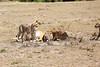Cheetah_Feast_Mara_Kenya_Asilia_20150216