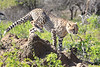 Cheetah_Family_Phinda_2016_0162