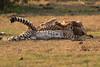 Cheetah_Cubs_Mara_Kenya_Asilia_20150298