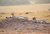 Cheetah_Cubs_Mara_Kenya_Asilia_20150105