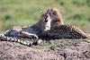 Cheetah_Family_Phinda_2016_0158