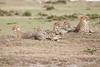 Cheetah_Family_Portraits_Mara_Kenya_Asilia_20150020