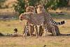 Cheetah_Cubs_Mara_Kenya_Asilia_20150239