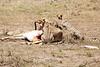 Cheetah_Feast_Mara_Kenya_Asilia_20150098