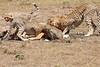 Cheetah_Feast_Mara_Kenya_Asilia_20150088