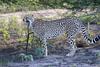 Cheetah_Family_Phinda_2016_0124