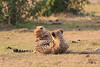 Cheetah_Cubs_Mara_Kenya_Asilia_20150212