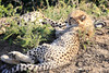 Cheetah_Family_Phinda_2016_0007