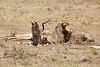 Cheetah_Feast_Mara_Kenya_Asilia_20150095
