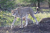 Cheetah_Family_Phinda_2016_0118