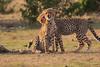 Cheetah_Cubs_Mara_Kenya_Asilia_20150234