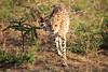 Cheetah_Adventure_Phinda_2016_0044