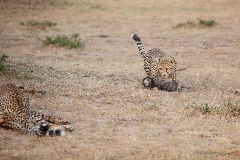 Cheetah_Cubs_Mara_Kenya_Asilia_20150130