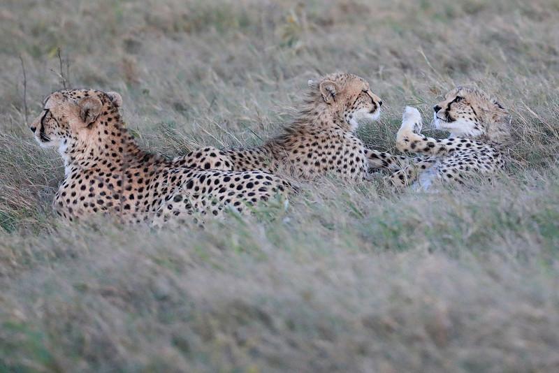 Cheetah_Family_Phinda_2016_0094