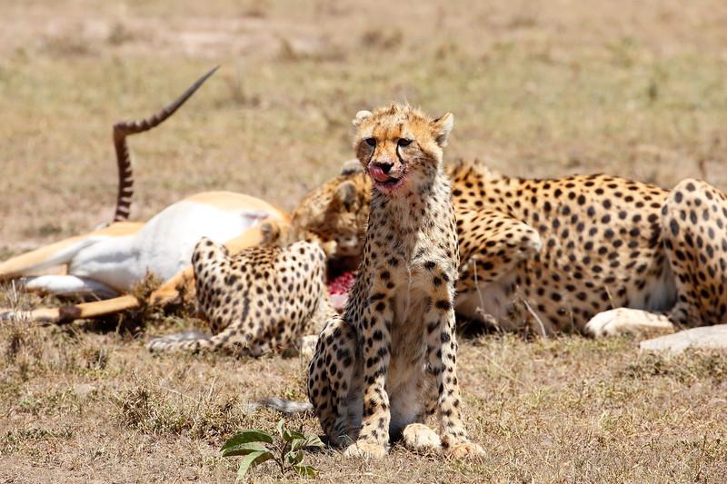 Cheetah_Feast_Mara_Kenya_Asilia_20150073