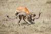 Cheetah_Feast_Mara_Kenya_Asilia_20150166