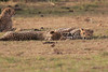 Cheetah_Cubs_Mara_Kenya_Asilia_20150288