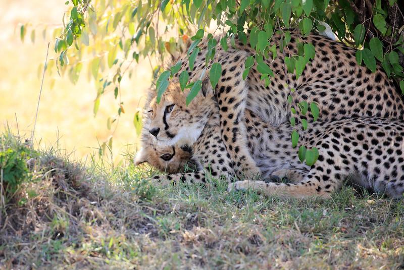 Cheetah_Cubs_Mara_Kenya_Asilia_20150038